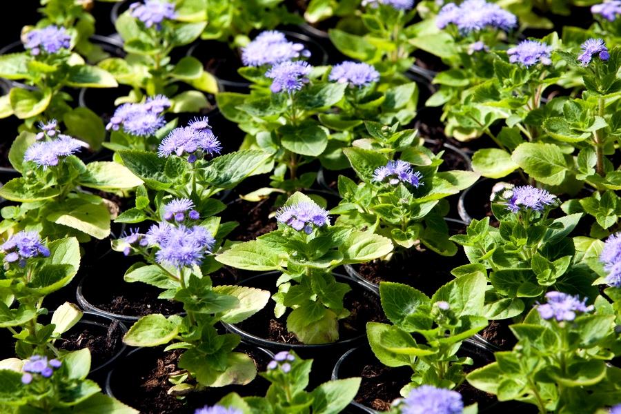 Агератум выращивание из семян 13