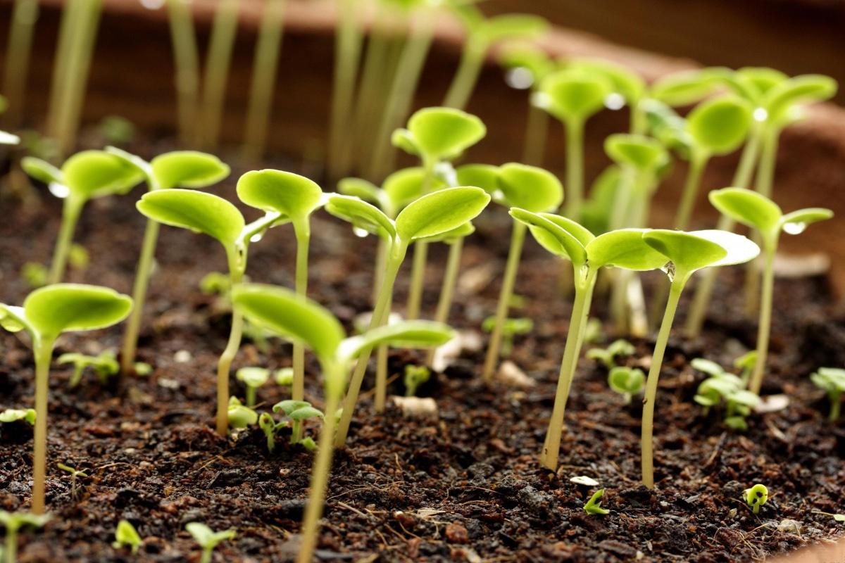 8 важных овощных растений, выращиваемых рассадой 66