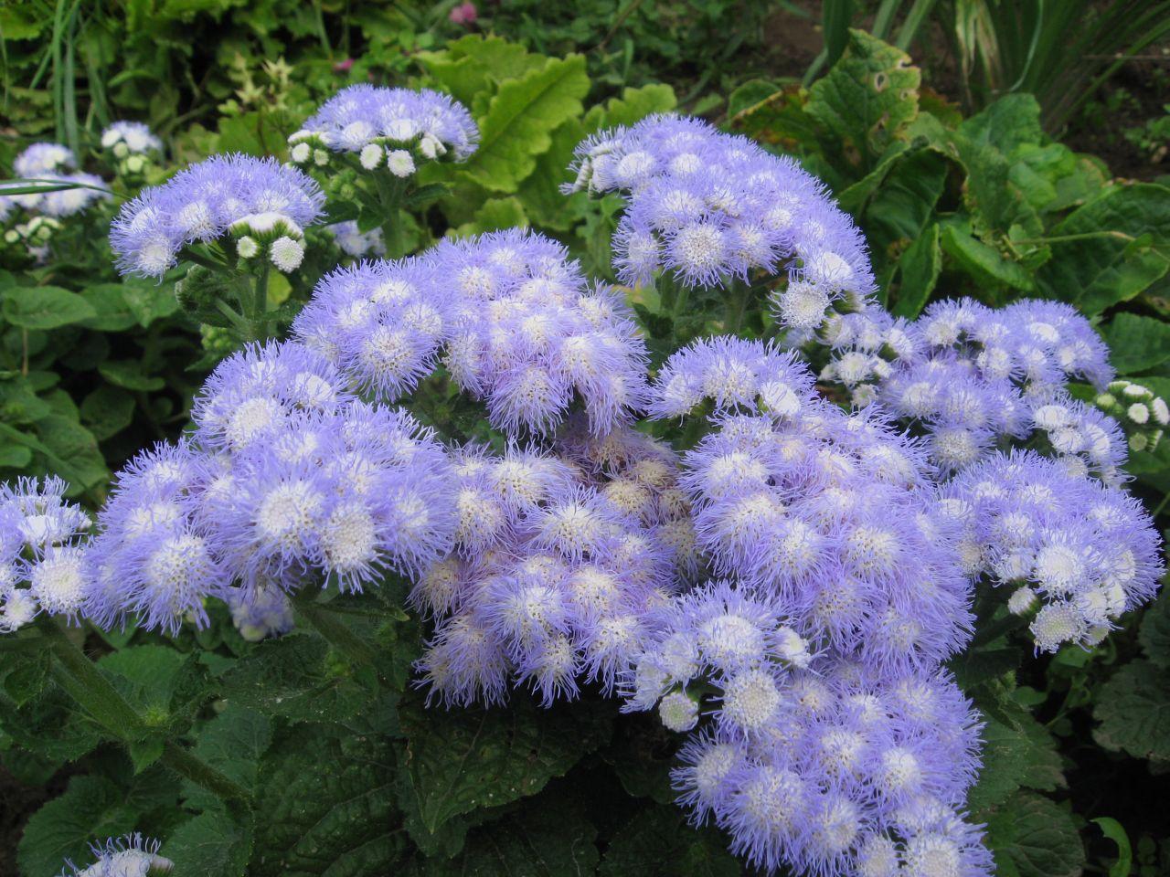Цветы агератума посадка и уход