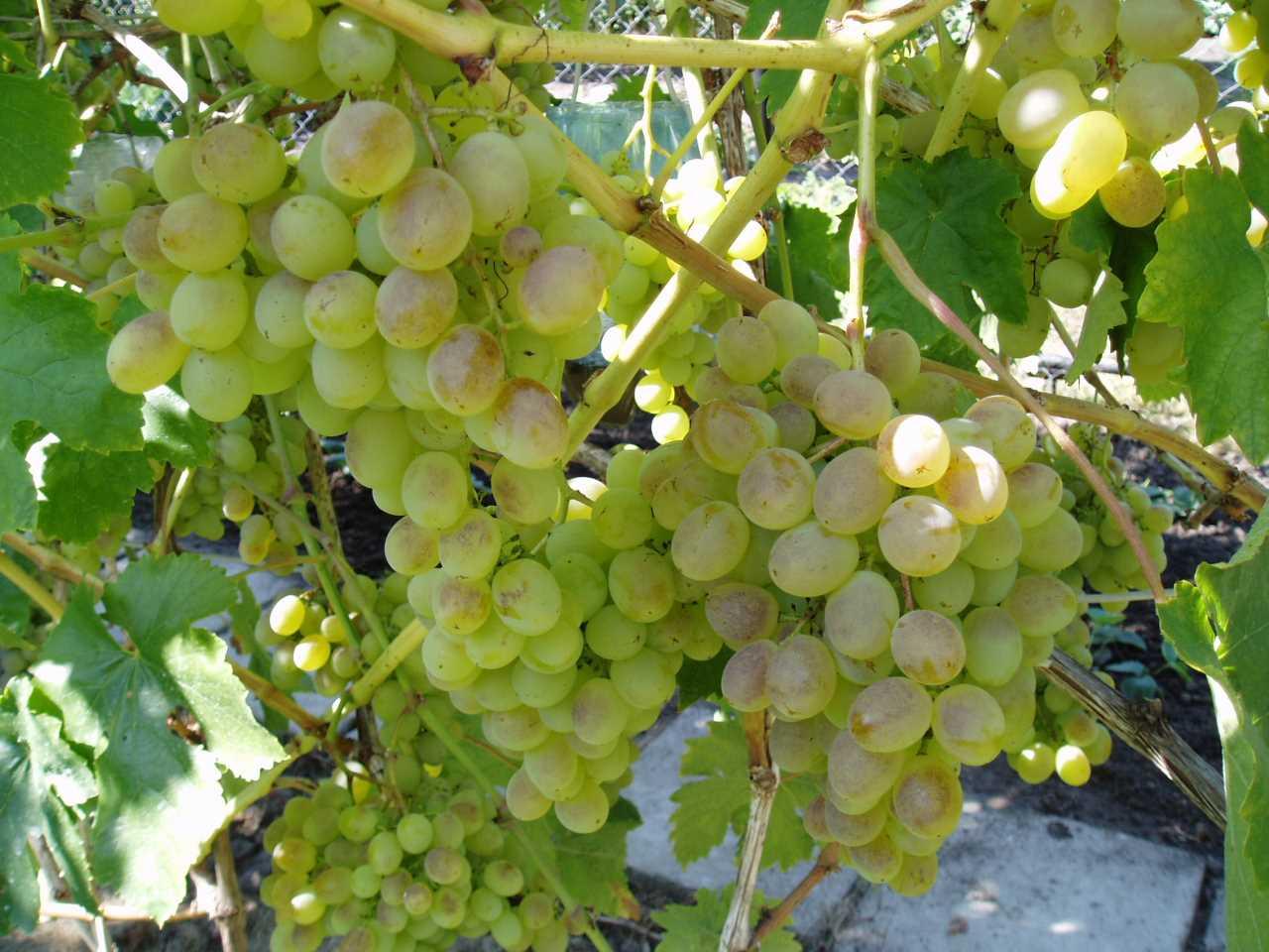 Сорт винограда Тимур – сортовые особенности, правильный уход