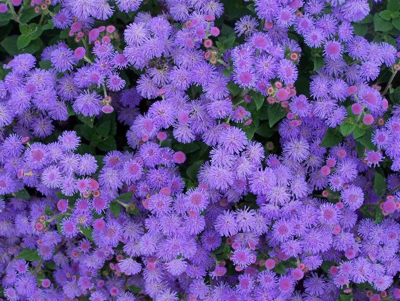Цветы однолетние долгоцветущие