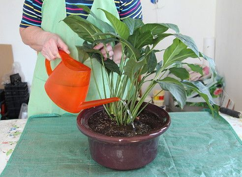 Какие земли надо сажать цветы спатифиллум 48