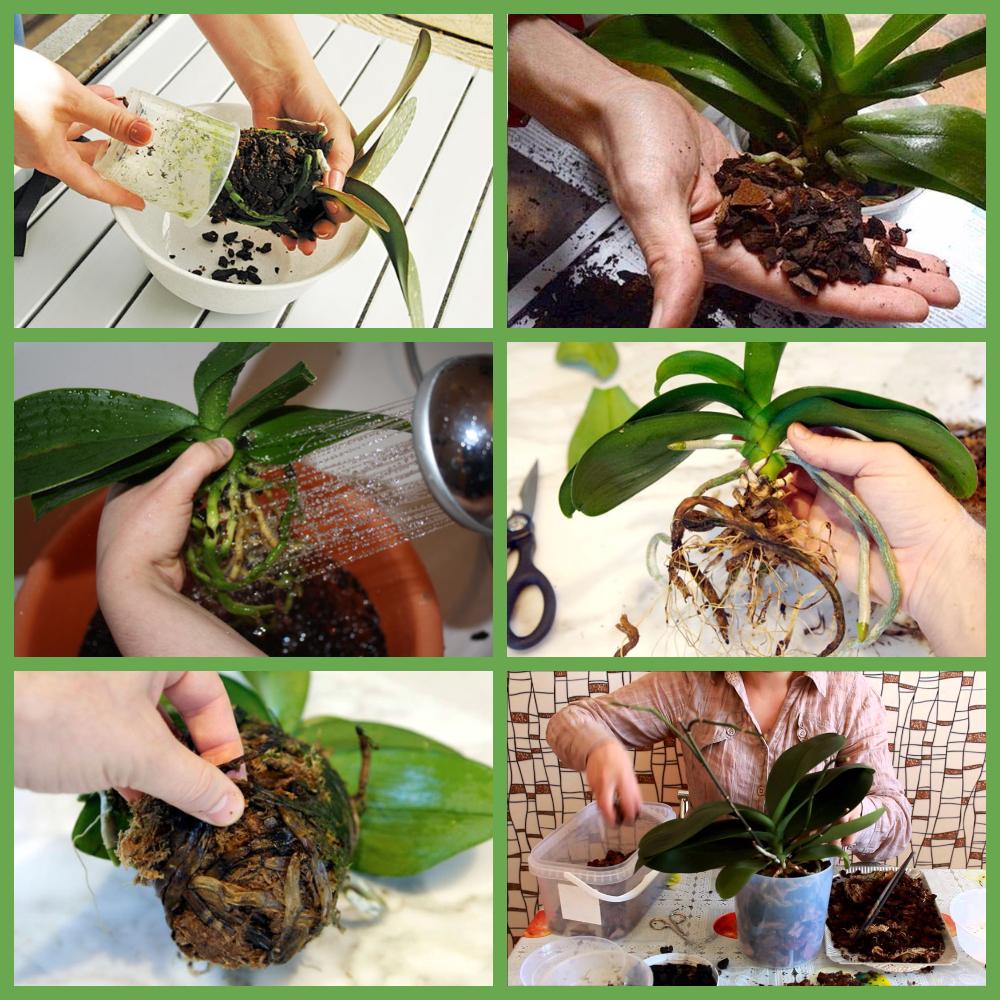 Пересадка об орхидеи в домашних условиях с фото