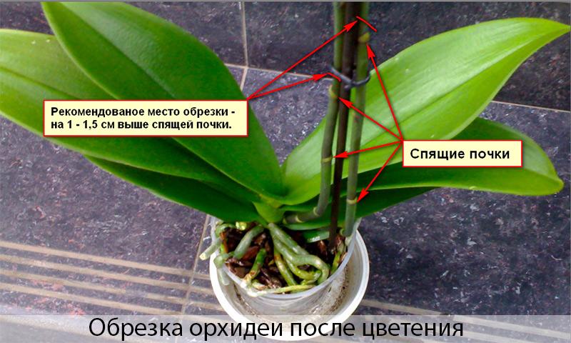 Орхидея размножение и уход