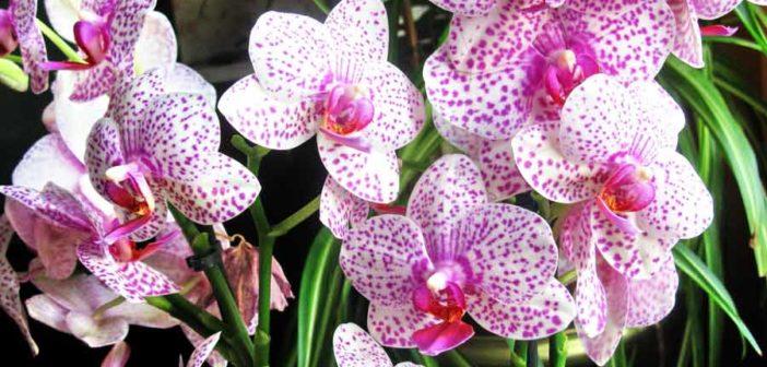 Орхидея phalaenopsis уход в домашних условиях после покупки