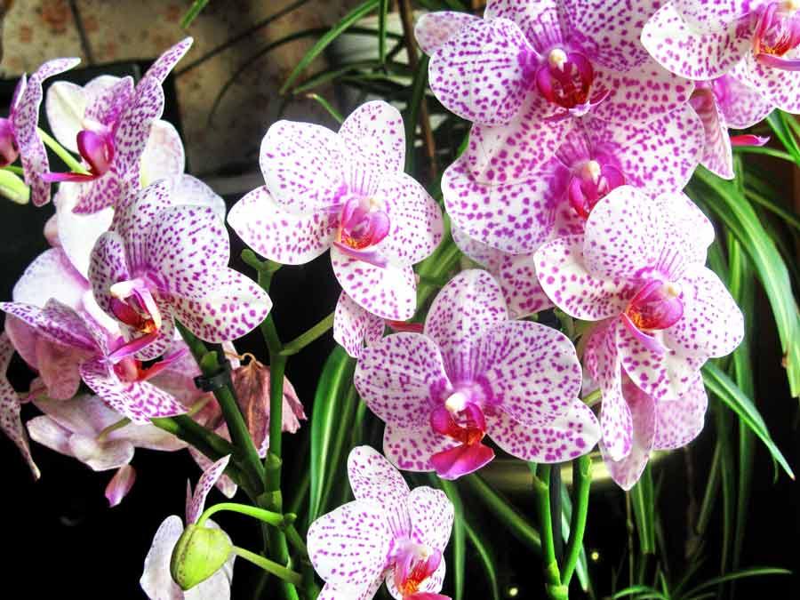 Орхидеи фаленопсис виды фото и названия