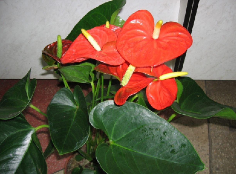 Домашние цветы с картинками и