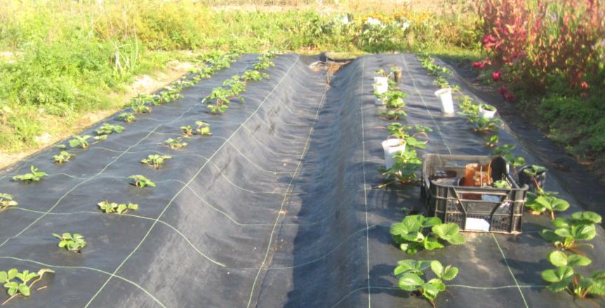Выращивание хризантем под черной пленкой 41