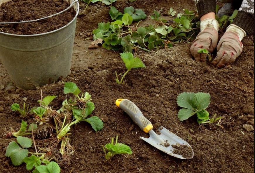 Можно ли рассаживать клубнику в сентябре