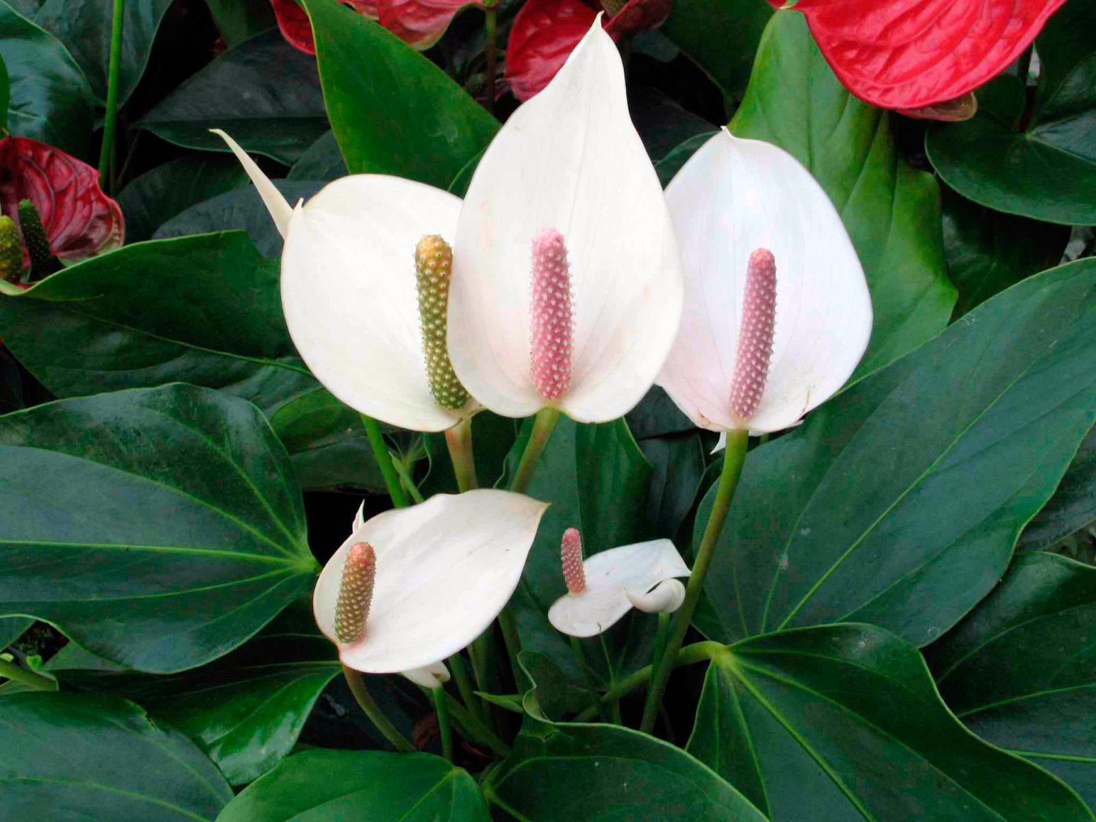 Спатифиллум: уход в домашних условиях, пересадка, размножение. Спатифиллум –цветок Женское счастье: приметы и суеверия